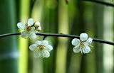 25---白梅の花