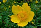 5.26----キンシバイの花