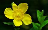 09----金糸梅の花