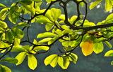 11----こぶしの葉