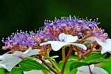 6.13----アジサイの花
