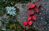 11.10----天神社の石垣のツタ