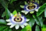 6.05----トケイソウの花