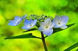6.14----アジサイの花.3