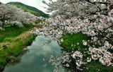 13---田原の桜1