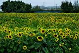07----風に揺れるヒマワリの花
