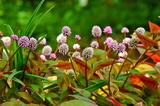 6.06----神応寺本堂前のヒメツルソバの花