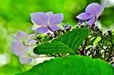 6.13----アジサイの花1