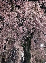 15---恵福寺の枝垂れ桜たて