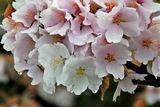 17---桜