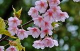 21----桜の花