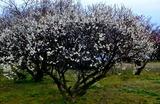 11----巨椋池干拓地の梅の木