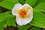 6.12----沙羅の花ナツツバキ