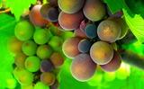 21----畑の車庫の屋根に実ったブドウのみ。