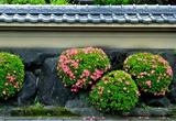 6.03----民家の石垣のサツキ