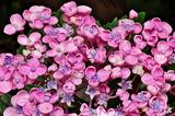 6.14----アジサイの花.4