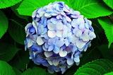 6.18----アジサイの花2