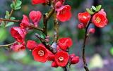 21----ボケの花