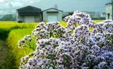 11----紫苑の花と稲田