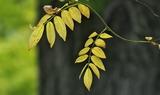 12----藤の葉の黄葉