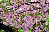 15----桜の花