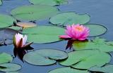 5.25----睡蓮の花