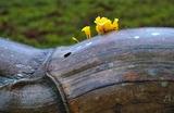 08---亀甲竹の留めに生えていたキノコ
