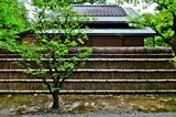 6.12----梅隠の梅と竹垣