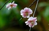 18----梅の花
