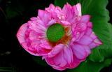 17----八重の蓮の花