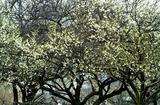 07----梅の木1