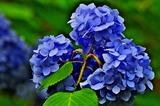 6.12----アジサイの花