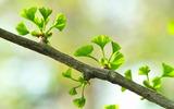 19---銀杏の新芽