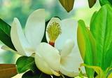 6.02----タイサンボクの花1