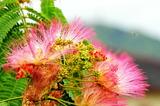 6.18----合歓の花