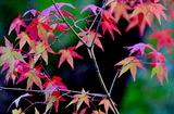11.09----モミジの紅葉