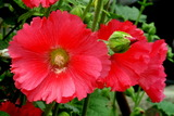 6.03----タチアオイの花