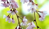 19---枝垂れ桜