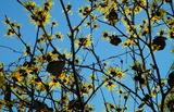 15---青空にマンサクの花