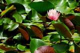 6.06----善方律寺の池のスイレン