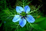 5.23----ニゲラの花