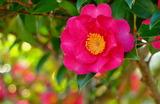 06---サザンカの花