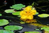 6.12----アサザの花