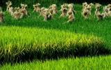 05----稲田と藁束