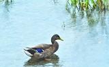 15----雨の降る鴨川の鴨