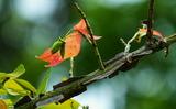 13----ニシキギの種と紅葉