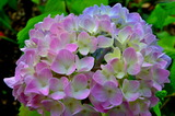 5.30----紫陽花