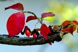 11.03----ニシキギの紅葉と赤い実