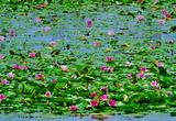 5.27----芳池の睡蓮
