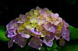 6.07----アジサイの花1